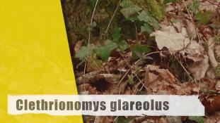 Myodes glareolus