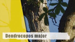 Dendrocopos major