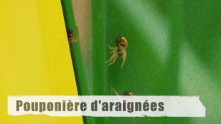 Pouponnière d'araignée