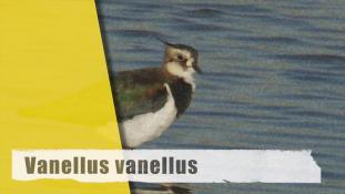 Vanellus vanellus