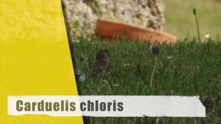 Chloris chloris