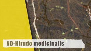 Hirudo medicinalis