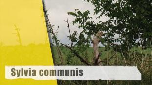 Sylvia communis