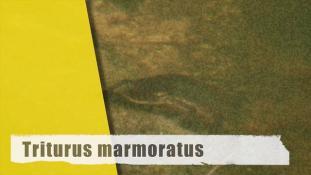 Triturus marmoratus