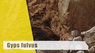 Gyps fulvus
