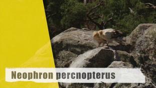 Neophron percnopterus