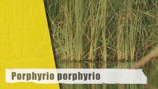 Porphyrio porphyrio