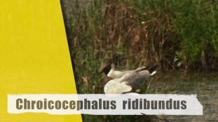 Chroicocephalus ridibundus
