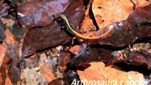 Arthrosaura kockii