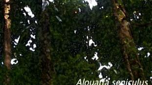 Alouatta seniculus