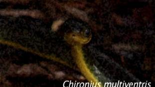 Chironius multiventris