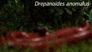 Drepanoides anomalus