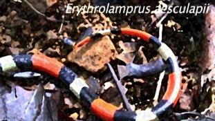 Erythrolamprus aesculapii