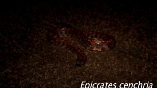 Epicrates cenchria