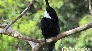 Galbula dea