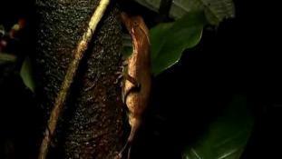 Anolis chrysolepis