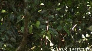 Sciurus aestuans