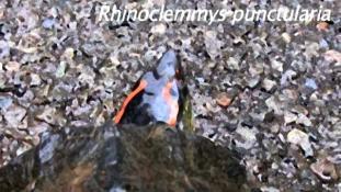Rhinoclemmys punctularia