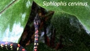 Siphlophis cervinus
