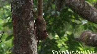 Sciurillus pusillus