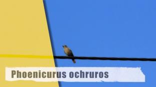 Phoenicurus ochruros