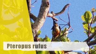 Pteropus rufus