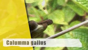ND-Calumma gallus