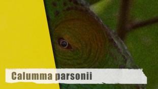 Calumma parsonii