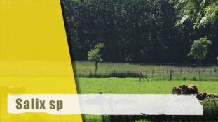 ND-Salix sp