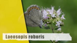 Laeosopis roboris