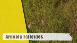 Ardeola ralloides