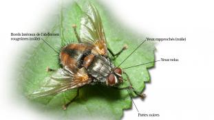 Nemoraea pellucida
