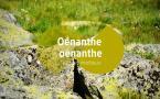 Oenanthe oenanthe