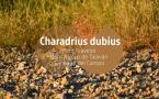 Charadrius dubius
