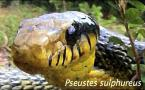 Pseustes sulphureus